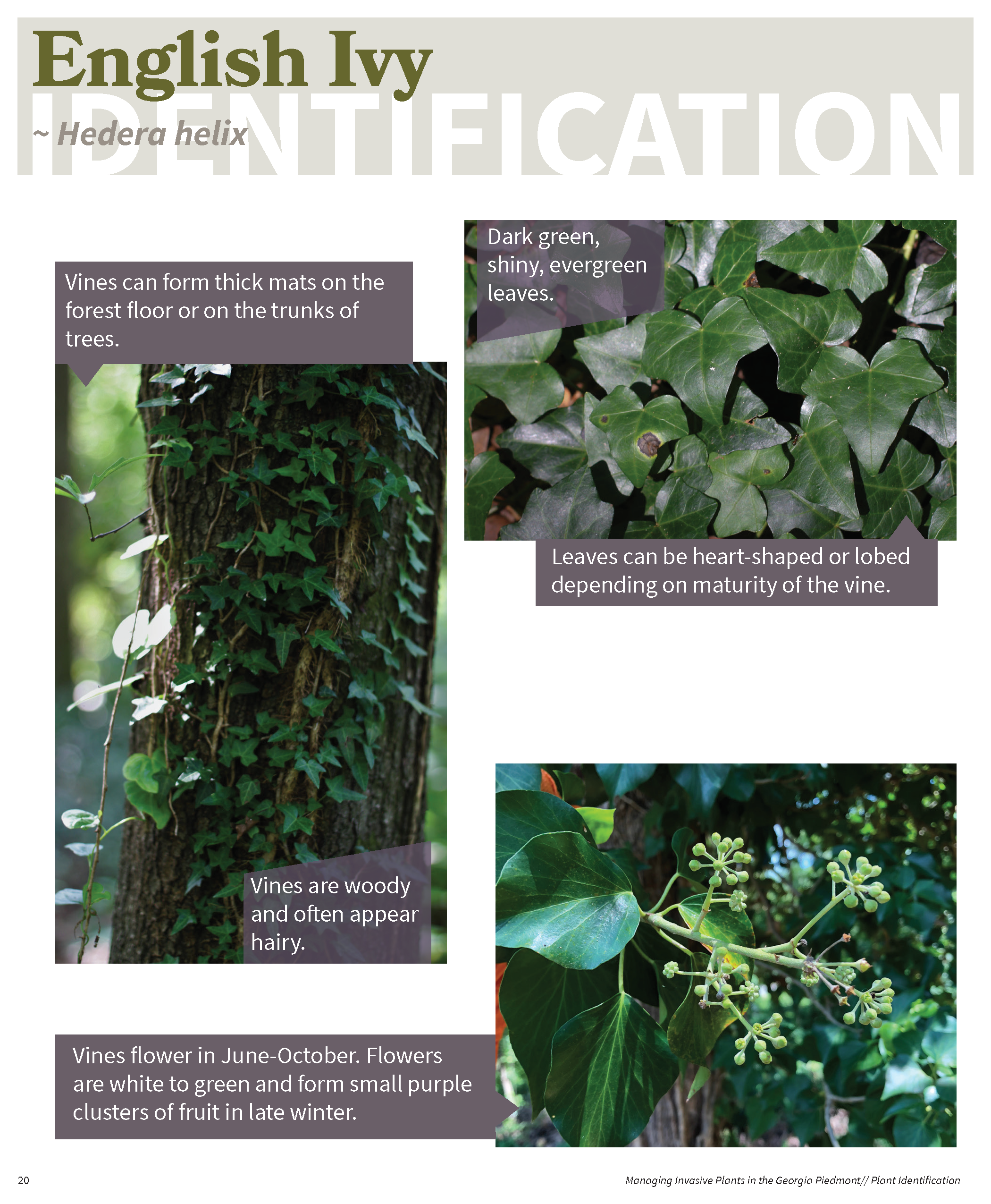 Managing Invasive Plants in the GA Piedmont for web_Page_19
