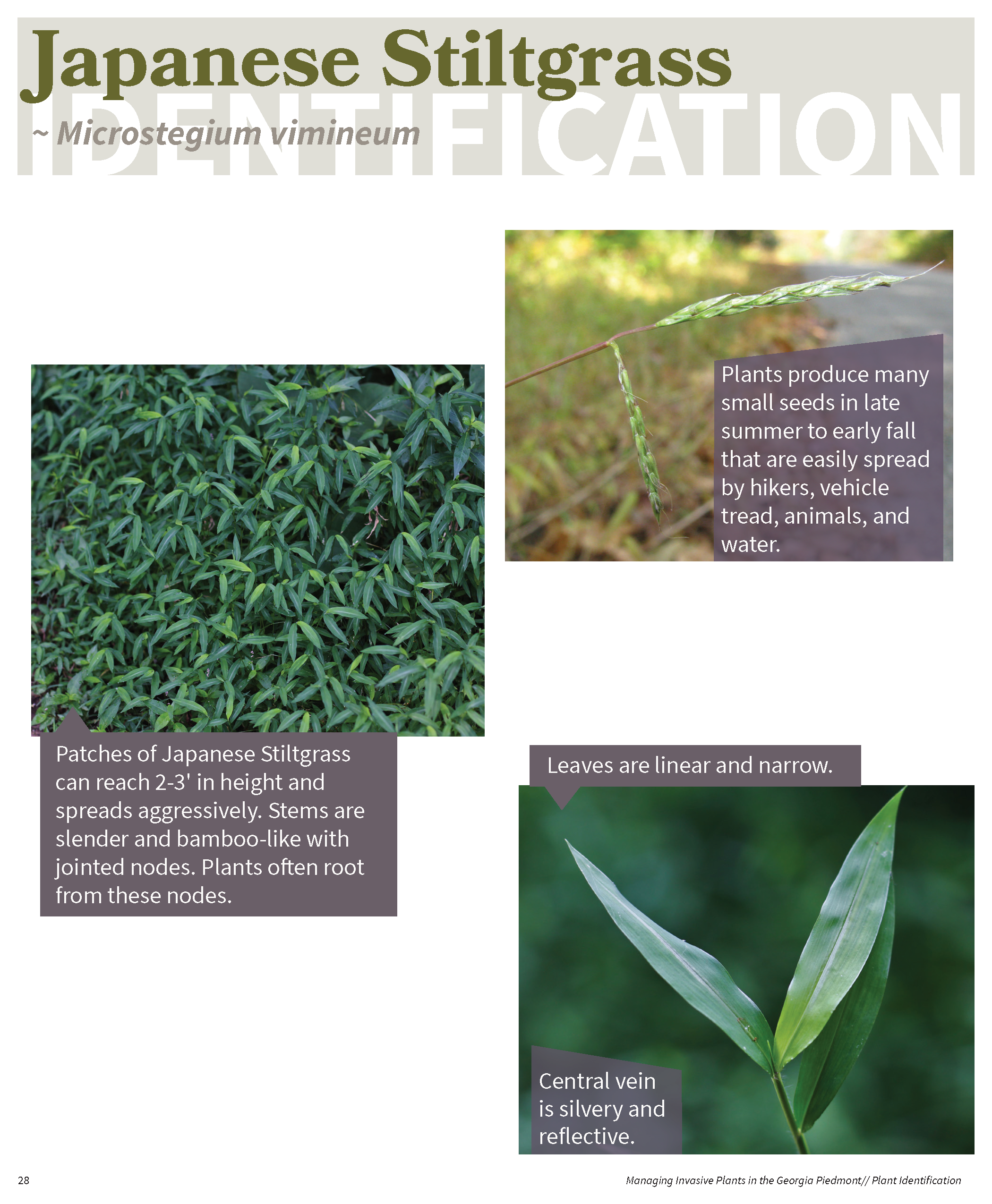 Managing Invasive Plants in the GA Piedmont for web_Page_27