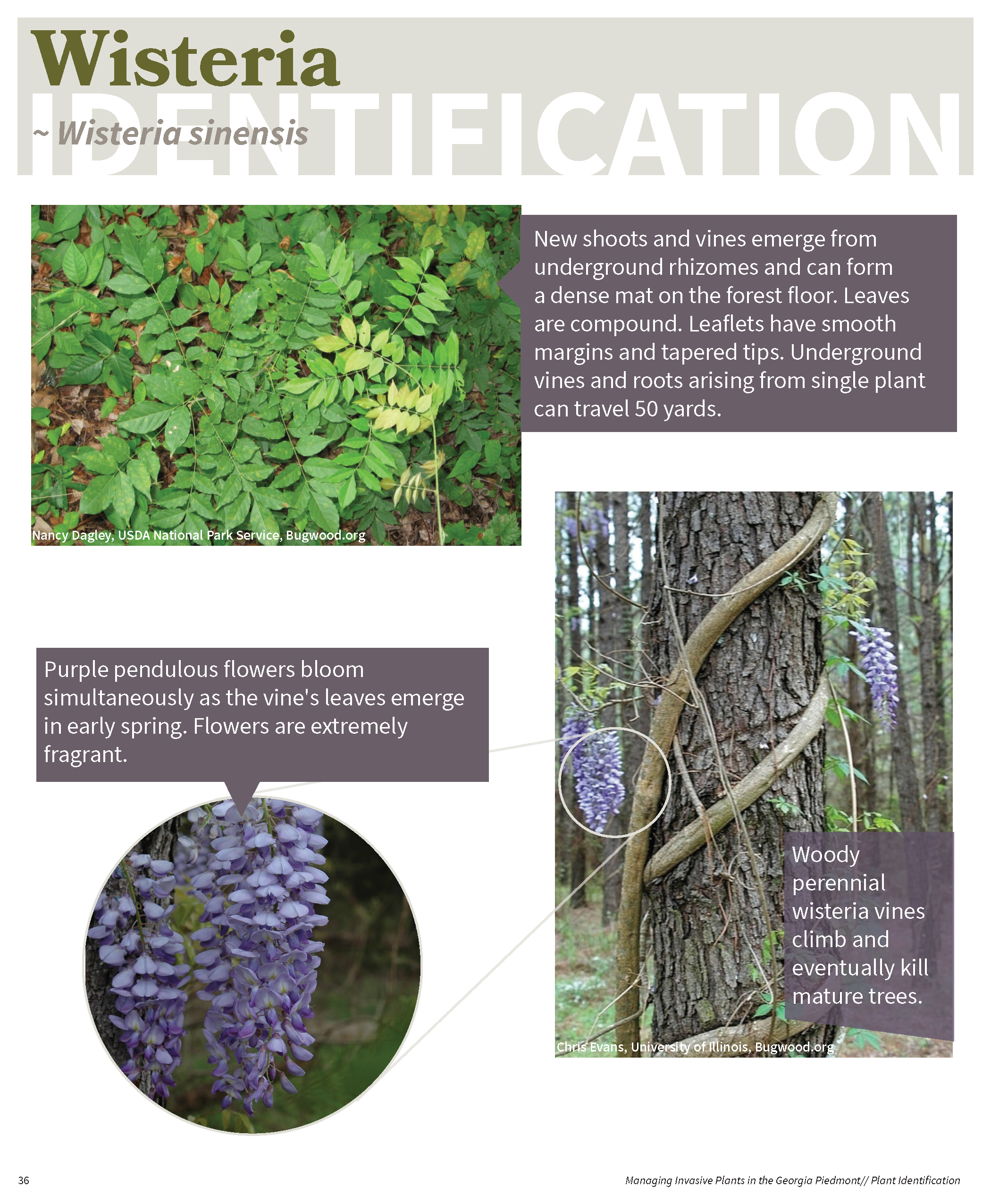 Managing Invasive Plants in the GA Piedmont for web_Page_35